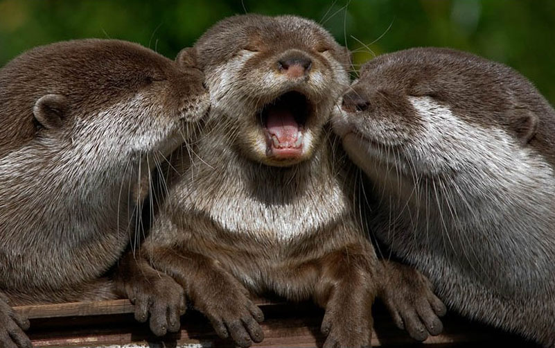 Three baby otters touching noses, the one in the centre with a wide mouth as if laughing, eyes closed.